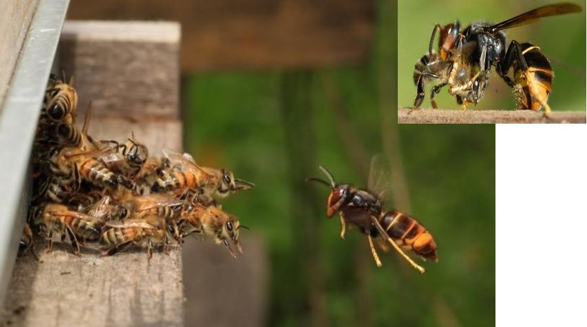 Attaque d'une ruche, le frelon asiatique tue les abeilles.